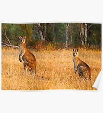 Kangaroos - Kosciusko National Park Poster