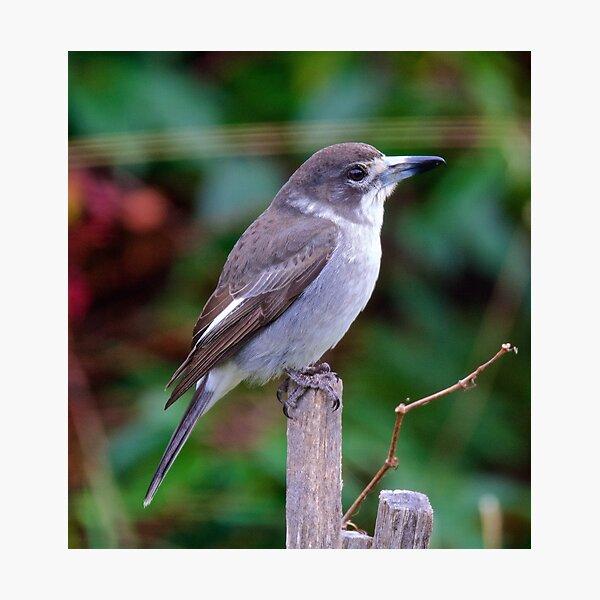 ARTAMIDAE ~ Butcherbird by David Irwin Photographic Print