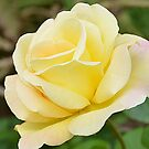The Yellow Rose by Catherine Hamilton-Veal  ©
