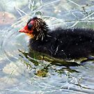 """Baby Coot"" by Malcolm Chant"