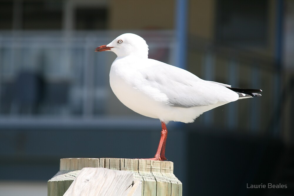 Seagull at Broadbeach by Lawrie Beales