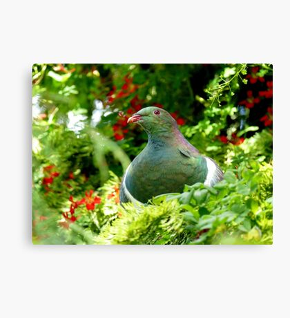 Wood Pigeon - Southland NZ Canvas Print