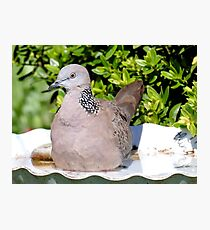 Spotted Malay Dove - Southland Photographic Print