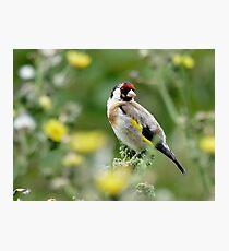 Goldfinch - Lauder Photographic Print