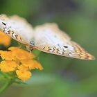 White Peacock Butterfly by Shelley Neff