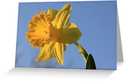 Daffodil Days by Shelley Neff