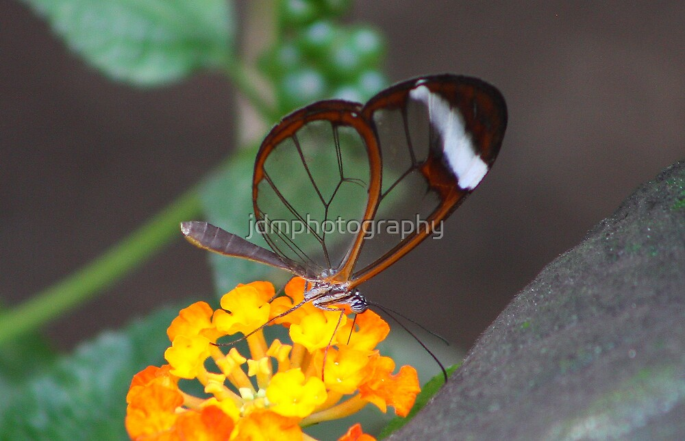 Transparent Butterfly  (Glasswing) by jdmphotography