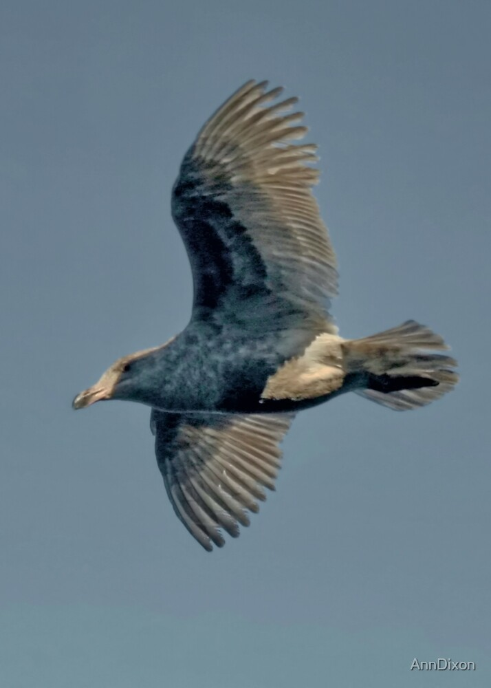 Seagull in Flight by AnnDixon