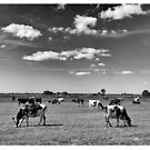 Dairy cows grazing in the Dutch countryside. Infra red effect. by stuwdamdorp