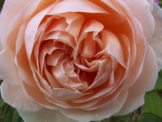 pink single rose by brigdale