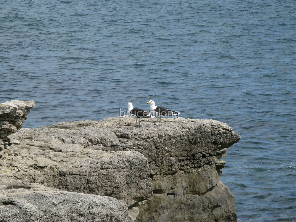black backed gulls by brucemlong