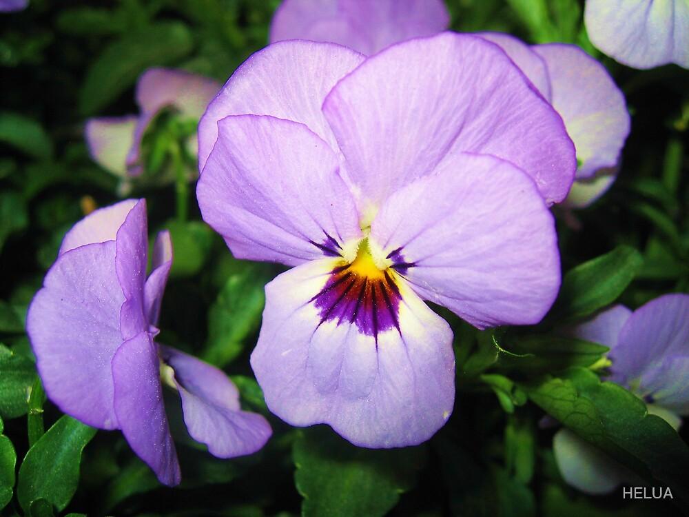 Purple Pansy by HELUA