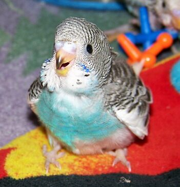Baby Parakeet by GreyFeather