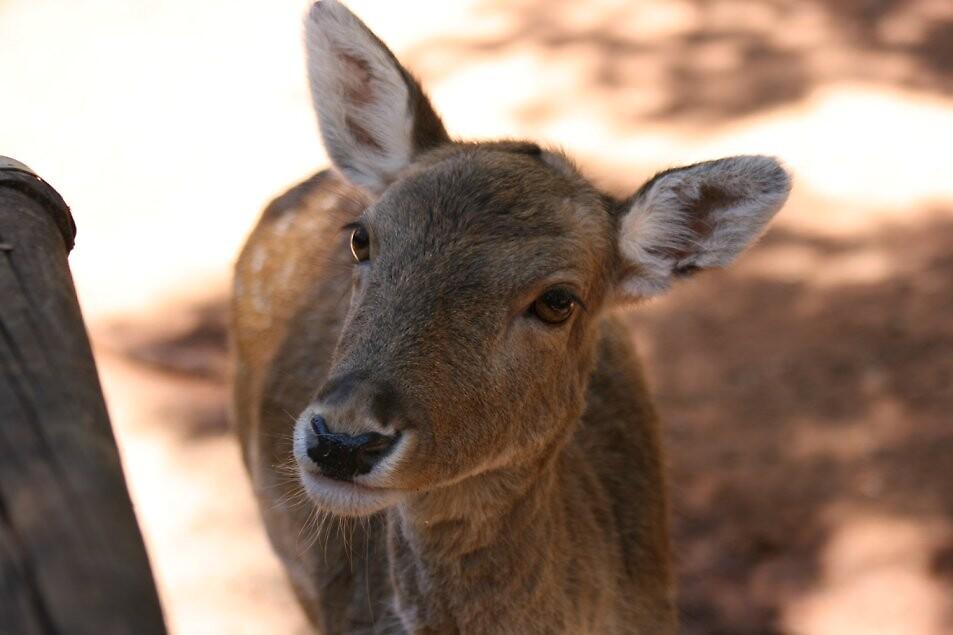 Deer by NikkiT