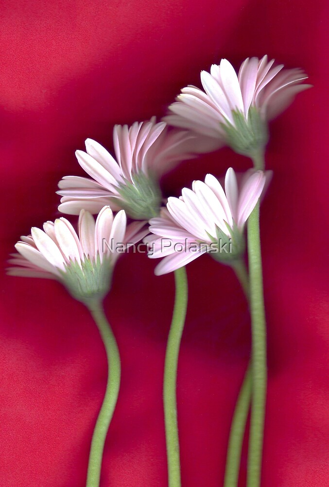 Daisies on Red by Nancy Polanski