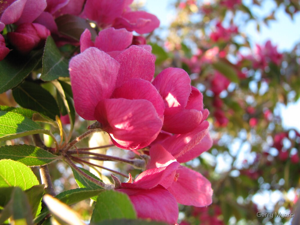 canadian crabapple blossoms by Gerry Myers