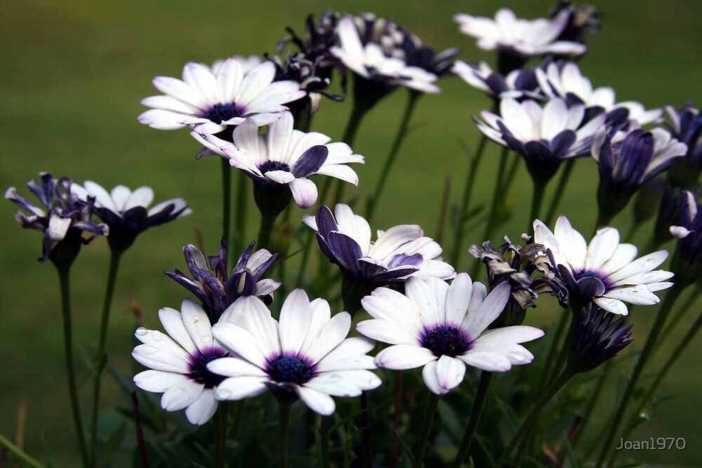 mini african daisy's by Joan1970