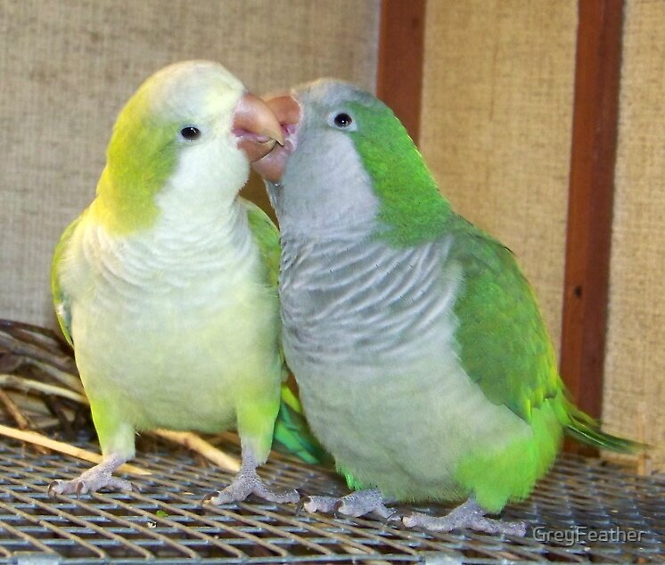Young love.  Normal green and yellow face/pallid quaker pair. by GreyFeather