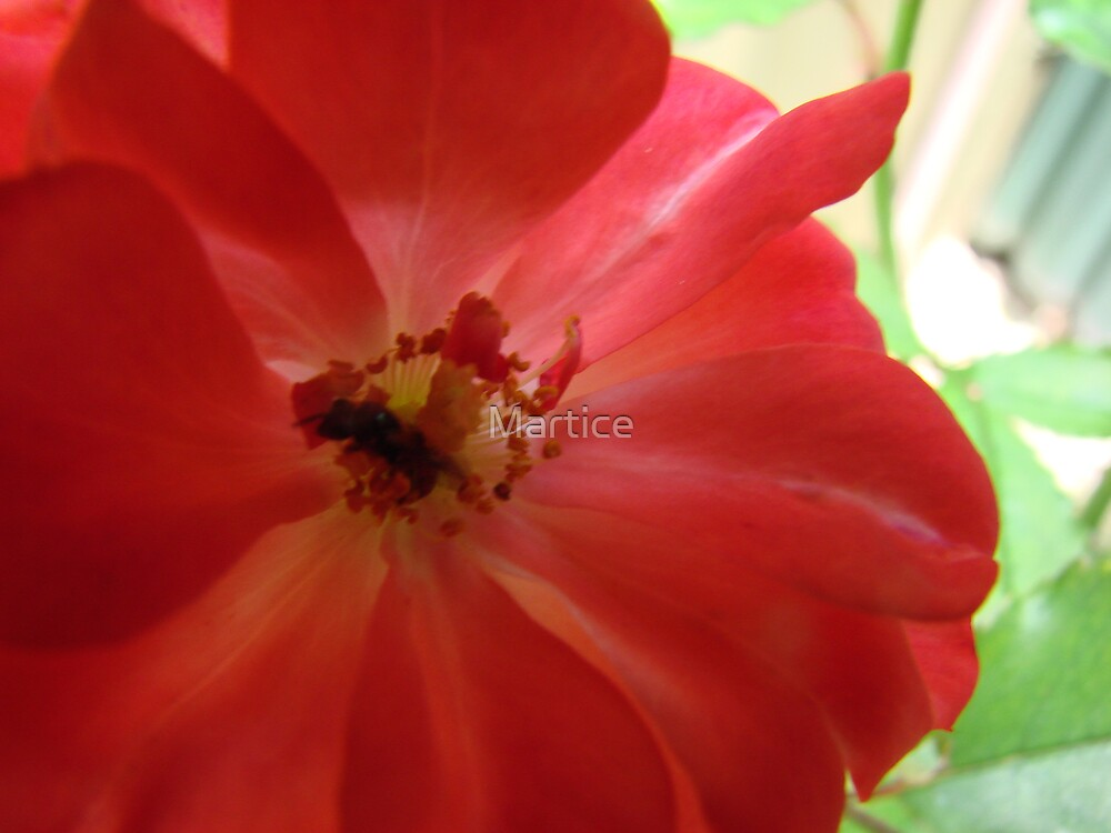 Sweet Succulent Nectar in the Rose Glow by Martice