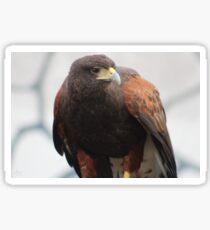 Harris's Hawk Sticker