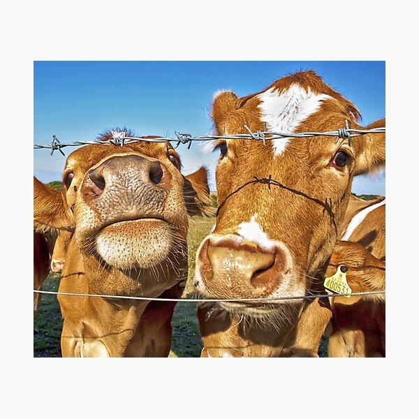 Poddy Calves Photographic Print