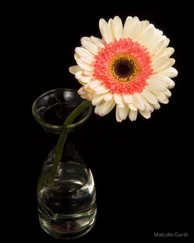 Pink & White Gerbera by Malcolm Garth