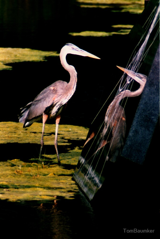 GREAT BLUE HERON REFLECTION by TomBaumker