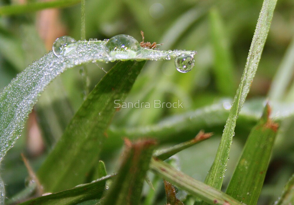 Dew on a Blade of Grass by Sandra Brock