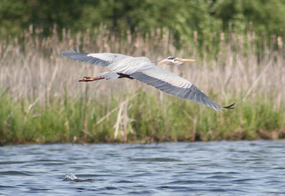 flying Heron by declown