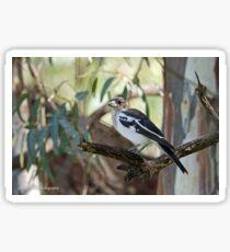Pied Butcherbird - Swan Hill, VIC (1545) Sticker