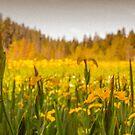 daffodils on beaver lake, stanley park  by jackson photografix