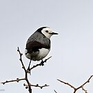 White-fronted Chat - Altona  VIC  (353) by Emmy Silvius