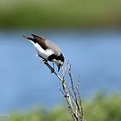 White-fronted Chat - Altona  VIC  (187) by Emmy Silvius