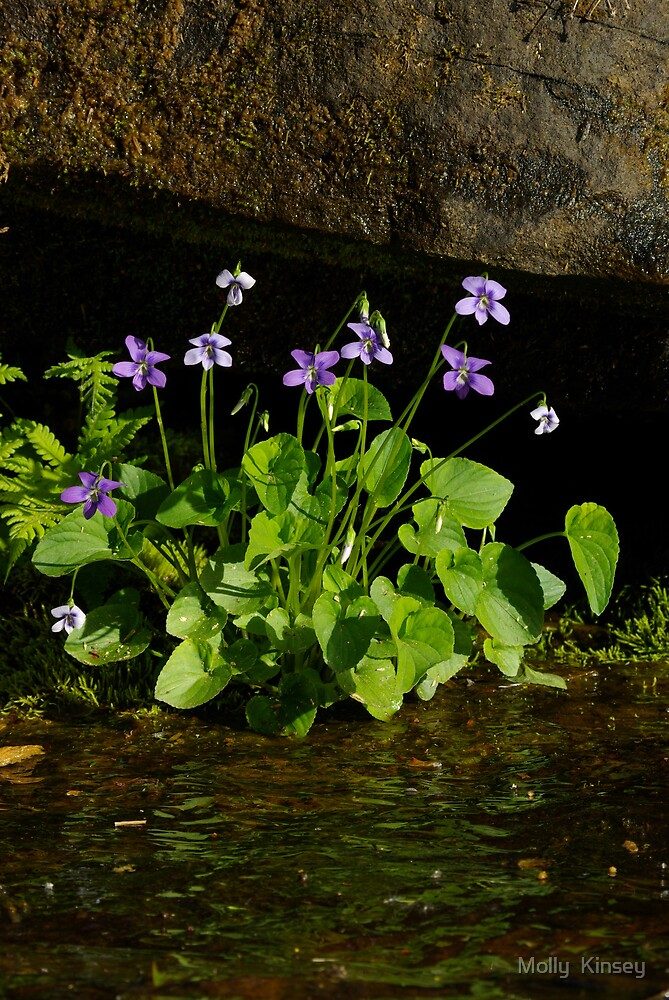 Wild Purple Violets by Molly  Kinsey