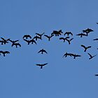 Yellow-Tailed Black Cockatoos by margotk