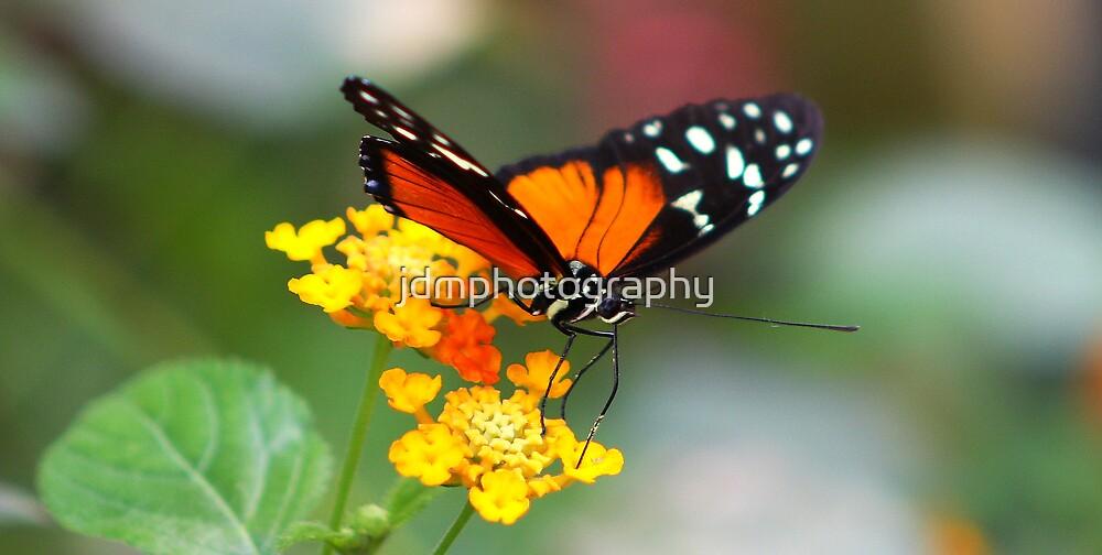 Monarch Butterfly by jdmphotography