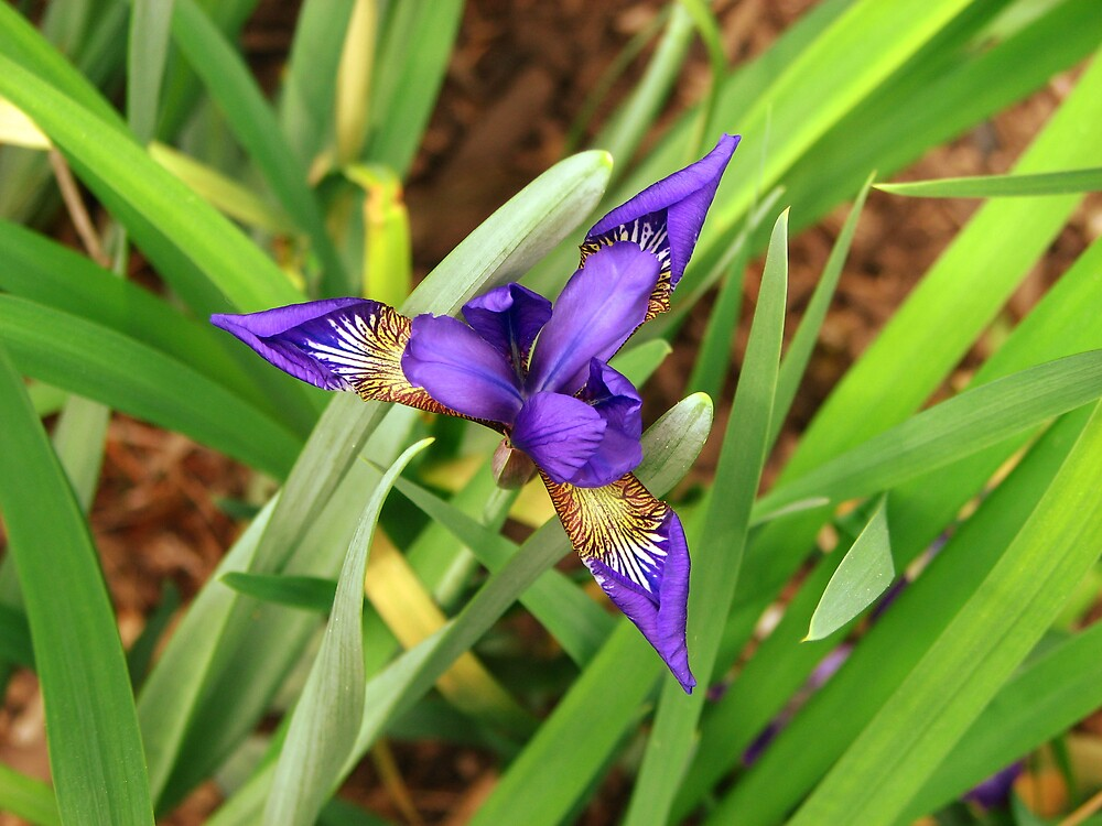 Iris by IndyLady