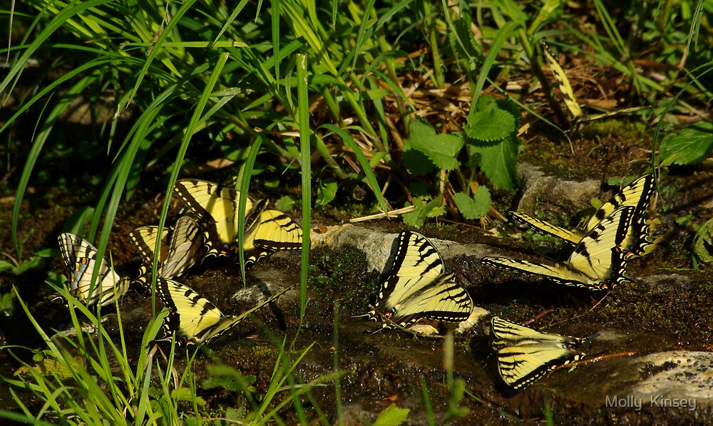 Tiger Swallowtail Butterflies Meeting Place by Molly  Kinsey