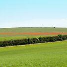 Poppy Field by Sue Robinson