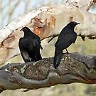 White-winged Chough - Little Desert NP (153) by Emmy Silvius