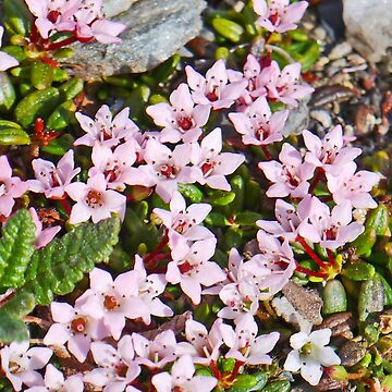 Alpine Azalea by grmahyde