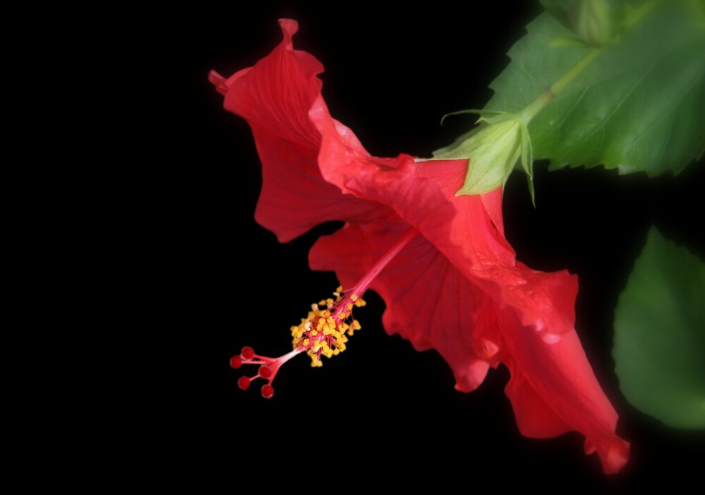 Red Hibiscus II by Tana Lee  Rebhan