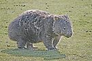 Wombat on Walkabout by Graeme  Hyde