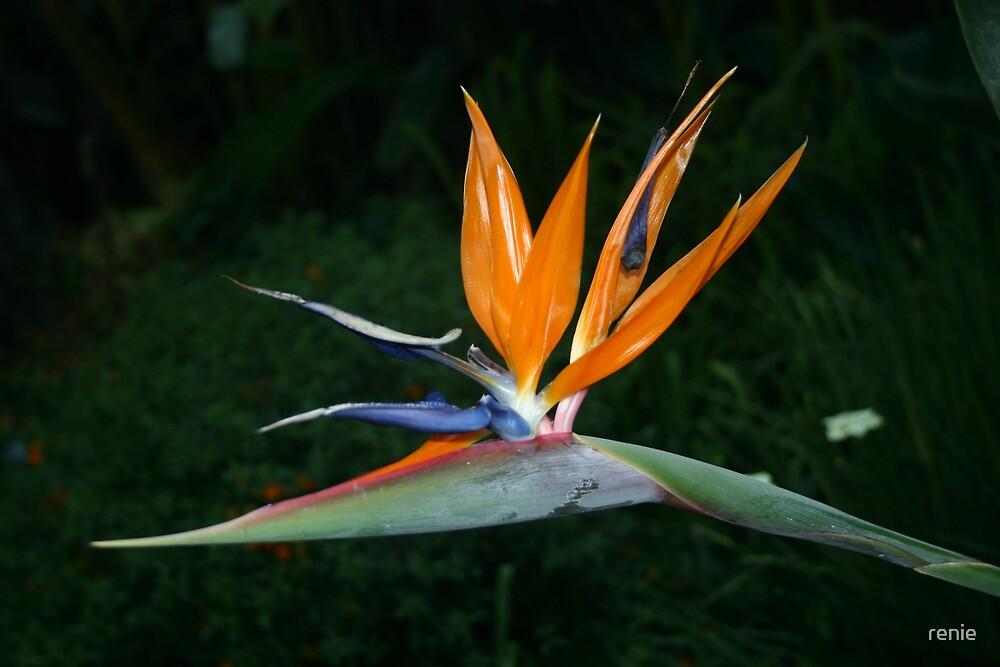 bird of paradise by renie