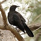 White-winged Chough - Little Desert NP (53) by Emmy Silvius