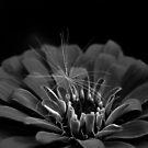 Dahlia's Wish II by Creative Captures