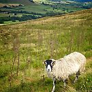 Black Face Sheep on the North York Moors by heidiannemorris