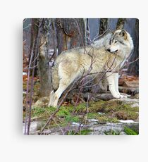 Timber Wolf on the Alert Canvas Print