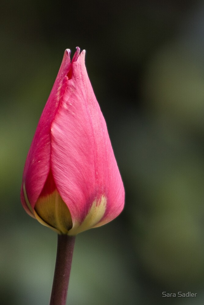Pink tulip flower by Sara Sadler