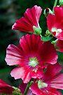 Deep red Hollyhock flowers by Sara Sadler